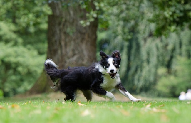 border collie in aktion