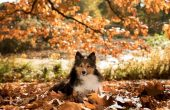 Herbst, border collie